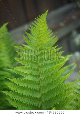 gren fern (Leptosporangiate ferns) plant leaves detail