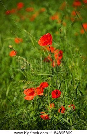 Poppy Papaver rhoeas (common names include corn poppy corn rose field poppy Flanders poppy red poppy red weed coquelicot and due to its odour which is said to cause them as headache and headwark) is a species of flowering plant in the poppy family Papaver
