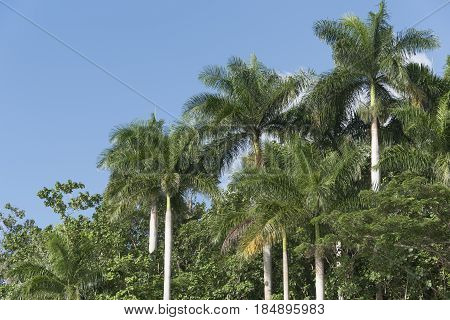 Royal Palm Tree In The Cuban Countryside, Hanabanilla, Cuba