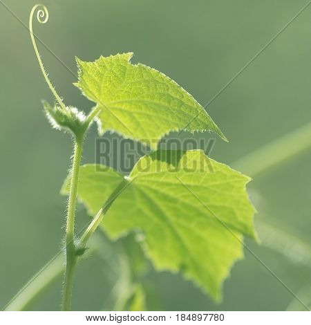 swirls and tendrils of the plants in the spring, the beginning of the development of cucumber