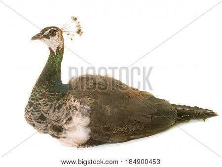female peacock in front of white background