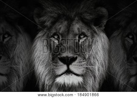 Black and white three lions. Dominant lion king of animal. Black and white portrait lion.