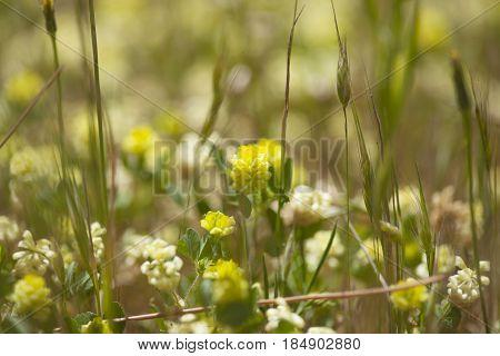Flora Of Gran Canaria - Trifolium Campestre