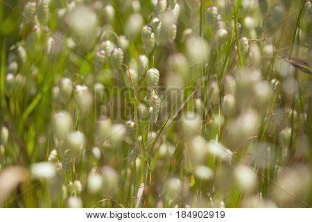 Flora Of Gran Canaria - Briza Maxima