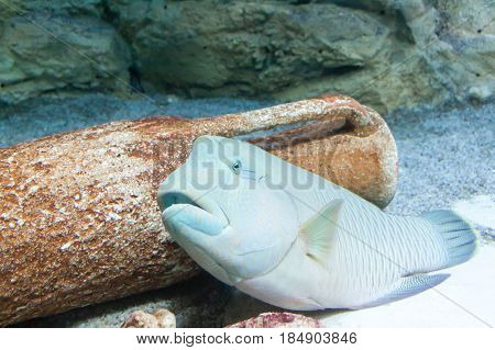 floating fishes in an aquarium with stones on a blue background