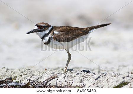 Killdeer (Charadrius vociferus) is a medium-sized plover on the sea ??coast