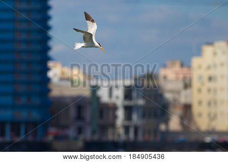 Royal tern Thalasseus maximus bird is flying over city Havana