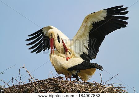 Two white stork Ciconia ciconia is mating in the nest