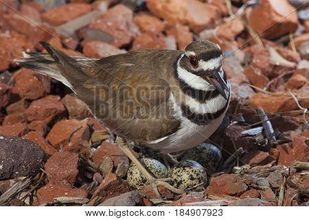 Bird guarding a killdeer nest on rocks with eggs