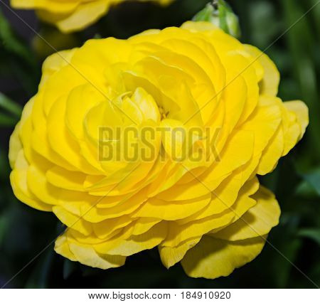 Yellow Ranunculus Flower, Ranunculaceae Family. Genus Include The Buttercups, Spearworts, And Water