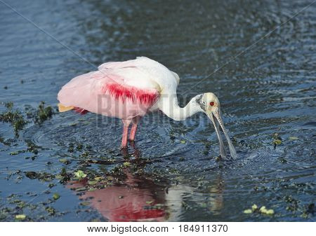 Roseate Spoonbill feeds in a lake