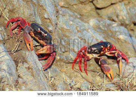 Two red Migrating crabs Gecarcinus ruricola on the rock