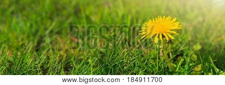 Close up of single yellow dandelion on a dark green grass background.Yellow dandelion and grass on a spring day.
