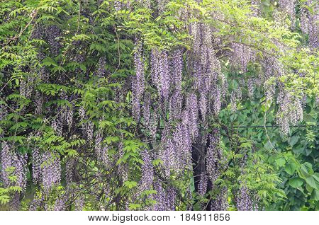 Mauve Violet Wisteria Bush Climbing Flowers, Outdoor Close Up, Fabaceae Family