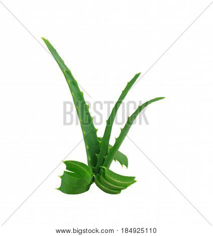 green leaves of aloe on a white background