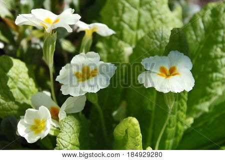 Yellow Primrose (Primula vulgaris) - one of the first blossom flowers in spring