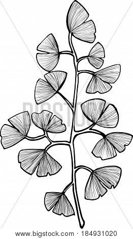 Ginkgo Biloba brunch with leaves vector clipart