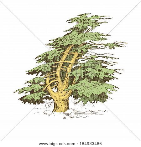 set of hand drawn trees italian cypress and stone pine , pinea, olive isolated vector illustration, engraved symbols of south, evergreen.