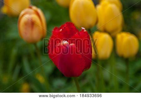 Very Beautiful Tulips After The Spring Rain