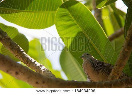 Mourning dove Zenaida macroura perched on a tree branch