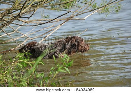 Italian Wire-haired Pointing Dog In The Water