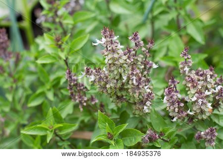 daylight of basil tree in vegetable garden blur background. Lemon basil Hoary basil Hairy basil tree and seeds.