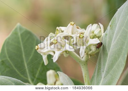 Drake flowers in the Thailand. flowers white.