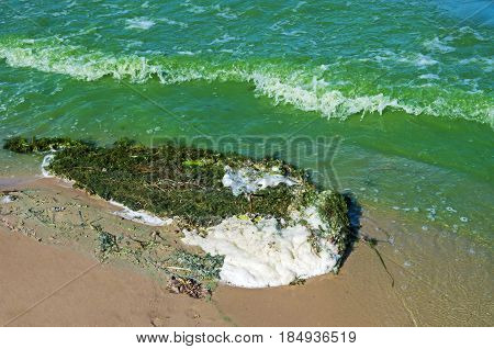 Thrown ashore algae and abundantly flowering from the excessive presence of phosphate river water