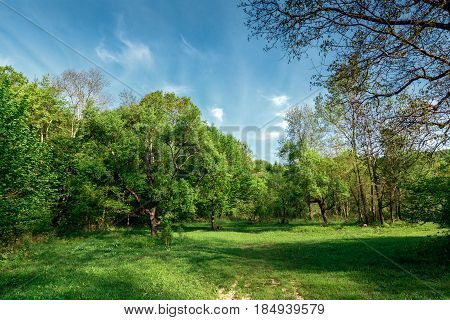 Deciduous trees growing in a forest glade in spring against a blue sky and clouds