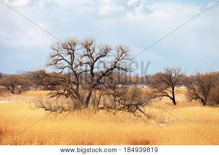 Lonely tree in spring field with yellow grass