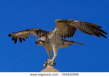 Osprey (Pandion haliaetus) sometimes known as the sea hawk fish eagle or fish hawk