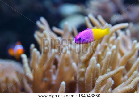 Bicolor Dottyback (Pictichromis paccagnella) also called the Royal Dottyback or False Gramma is a fish commonly kept in marine aquariums