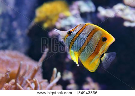 Copperband Butterflyfish (Chelmon rostratus) also commonly called the Beak Coralfish is found in reefs in both the Pacific and Indian Oceans