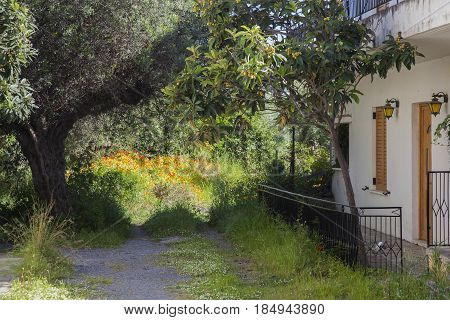 very old olive tree and apricot tree in flower garden next to house in greek village of kardemilla on peloponnese in spring on sunny day