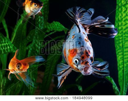 Goldfish aquarium a group of fish on the background of aquatic plants