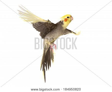 young cockatiel flying in front of white background
