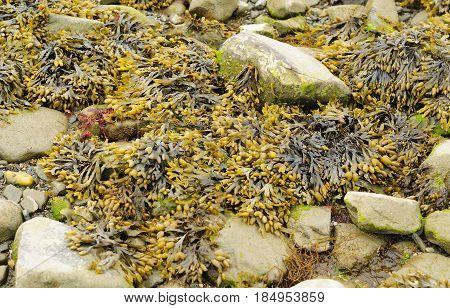 Bladder Rockweed seaweed or Fucus vesiculosus bladder wrack or bladderwrack on rocks at low tide on long island sound in Milford Connecticut beach.