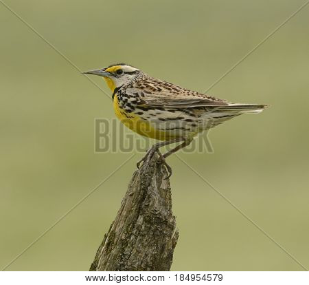 An Eastern Meadowlark  (Sturnella magna) perches on a fence post in spring in Sharpsburg, Maryland, America.  Shown in left profile.