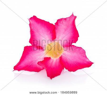 Pink Desert Rose Flower on white background
