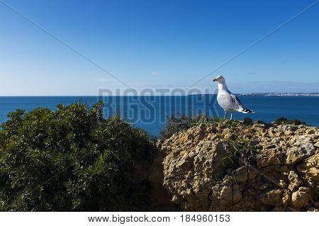 Seagull in the cliffs around the scenic Praia dos Tres Irmaos in Alvor Algarve Portugal
