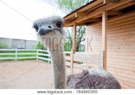 close-up of head of ostrich. background ostrich. head of ostrich.