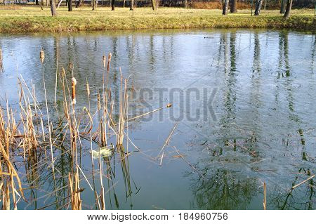 cattails beside melting ice on the pond at early spring