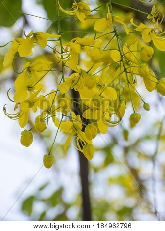 Golden shower or Cassia fistula flower in garden