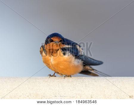 Barn Swallow - Hirundo rustica, Adult Male. Santa Clara County, California, USA.