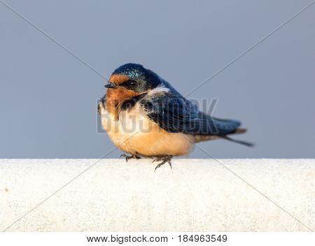 Barn Swallow - Hirundo rustica, Adult Female. Santa Clara County, California, USA.