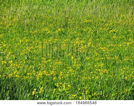 Marsh Marigold (Caltha palustris) on a meadow on spring