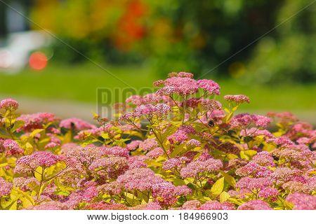 Bumblebee at velvet flowers in the sunshine