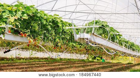 Inside View On Strawberry Plant On Greenhouse