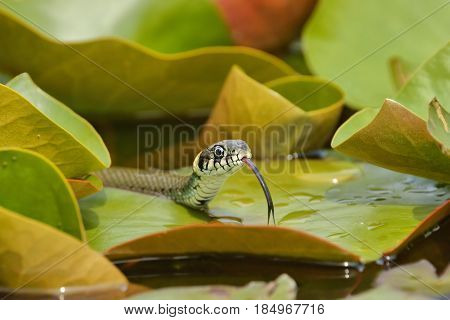 Grass Snake (Natrix natrix) hunting on the leaves of Water Lilies