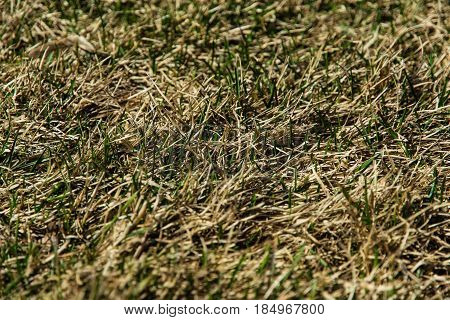 A young fresh green grass sprouting through a dry old yellow